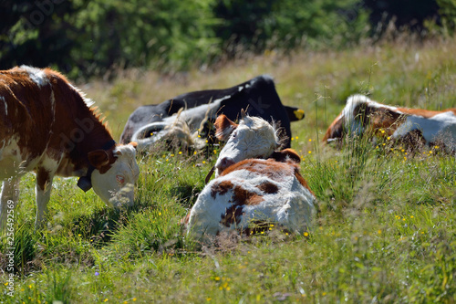 Fotografering  cows to craze