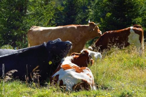cows to craze Fototapeta