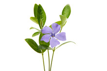 Periwinkle Flower With Leaves