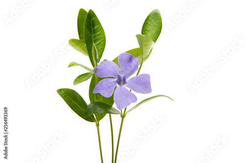 Fototapeta periwinkle flower with leaves