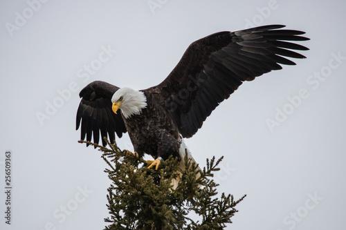Poster Aigle bald eagle on evergreen tree