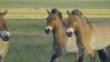 Horse Przewalski (Equus ferus przewalskii) in the steppe.
