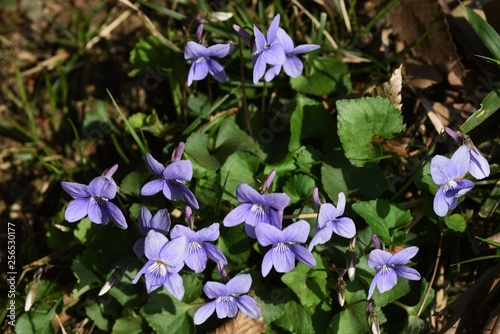 Violet flowers are often found on the roadside in spring.