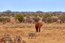 Landscape View In Safari. Kenya In Africa, Elephants And Zebras On The Savannah With The Trees.