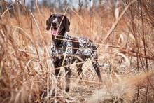A Beautiful Bird Dog In A Field Of Grass