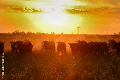 Foto op Canvas Paarden Cows at sunset in La Pampa, Argentina