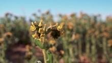Yellow Bladderpod Wildflowers ...