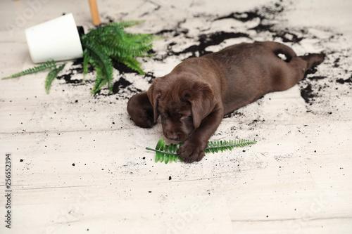 Fototapeta Chocolate Labrador Retriever puppy with overturned houseplant at home obraz