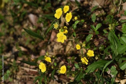 Fényképezés  Potentilla anemonifolia flowers