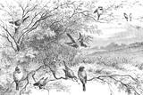 Reprezentacja ptaków na gałęziach - Vintage Engraved Illustration, 1894 - 256556545