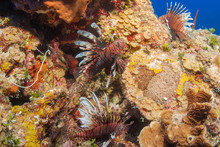 Invasive Red Lionfish On The R...