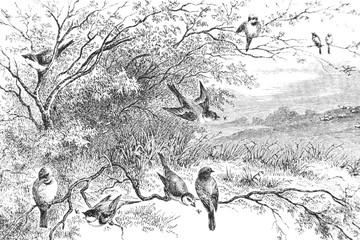 Fototapeta Do sypialni Representation of birds on branches - Vintage Engraved Illustration, 1894