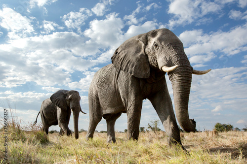 Photo  Low angle of a passing Elephant