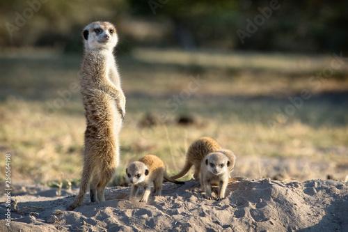 Fotografia Meerkat family