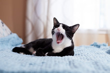 A Black And White Tuxedo Cat Is Sitting On A Blue Blanket And Yawing