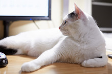 A White Cat With Black Markings On His Head Is Sitting On A Desk In Front Of A Monitor