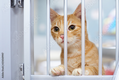 A curious and friendly red tabby kitten or young cat is looking through the bars in a kennel in an animal shelter and waiting for his family