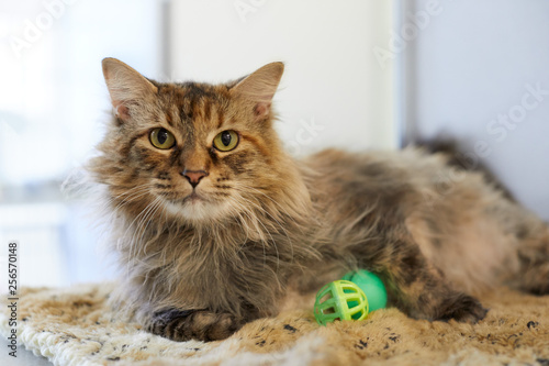 A longhair brown tabby cat is relaxing on a fluffy blanket by a window