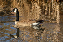 Canada Goose Swimming In Lake With Late Afternoon Golden Reflections Of Dry Dead Winter Grasses