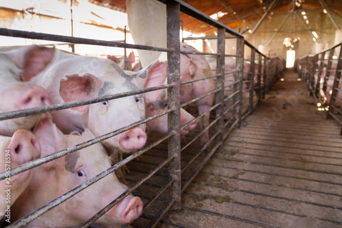 Fotografie, Obraz pig hatchery for pig meat consumption in the field