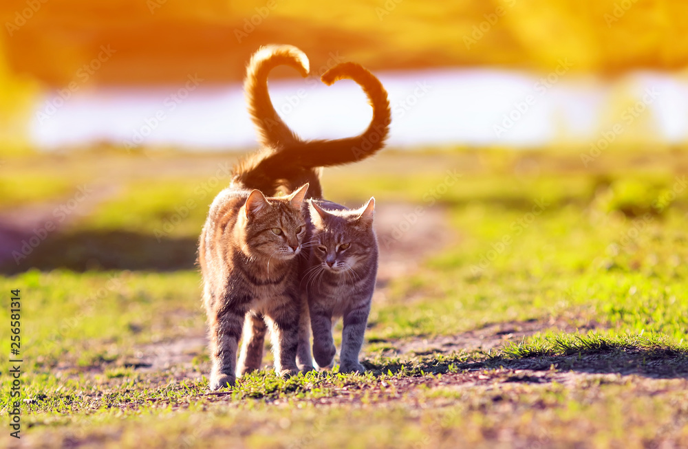 Fototapety, obrazy: a pair of cute lovers striped cat walking on a Sunny path in a warm spring garden twisting their tails in the heart