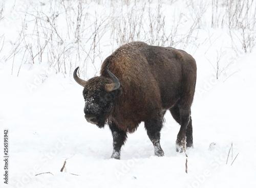 Aluminium Prints Bison bison in the field