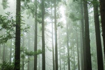 湿度の高い杉林