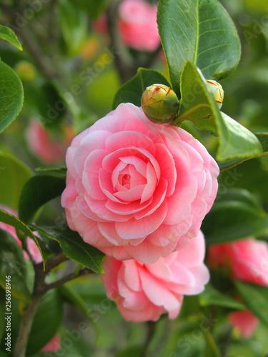 Fototapeta ピンクの椿の花