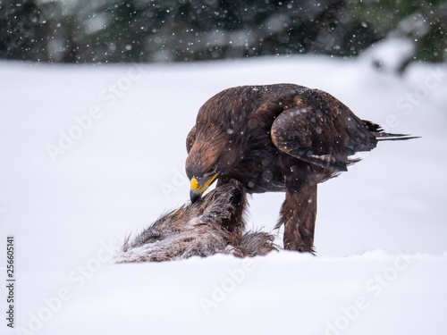Photo  Golden eagle (Aquila chrysaetos) in the forest during snowfall rips pieces of meat from frozen racoon carcass