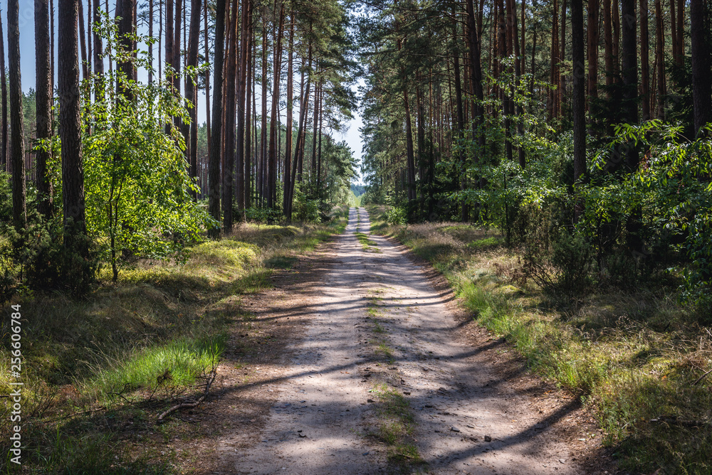Fototapety, obrazy: Forest road in Tuchola Pinewoods in Kujawy-Pomerania Province of Poland