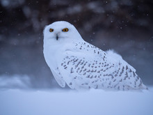 Snowy Owl (Bubo Scandiacus) On...