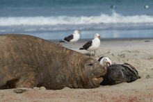 Female Southern Elephant Seal ...