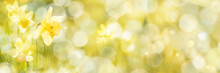 Spring Background, Daffodils