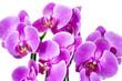 canvas print picture - Violet orchid flower