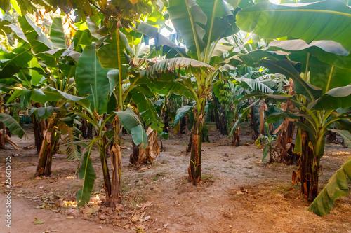 Fotografía Banana trees growing on the banana plantation