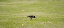 Black-collared Starling (Gracupica Nigricollis) Walking On Green Grass.