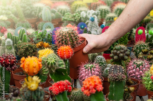 Photo Stands Cactus Beautiful male customer chooses cactus plants in the retail store. Gardening In Greenhouse