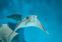Cute Stingray Swims In Aquarium Close-up, Bottom View.