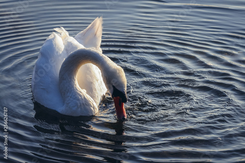 Fotobehang Zwaan Mute swan on a Lanskie Lake located in Olsztyn Lake District in Warmian-Masurian Voivodeship of Poland