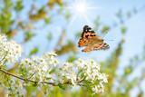 Fototapeta Natura - Schmetterling 452