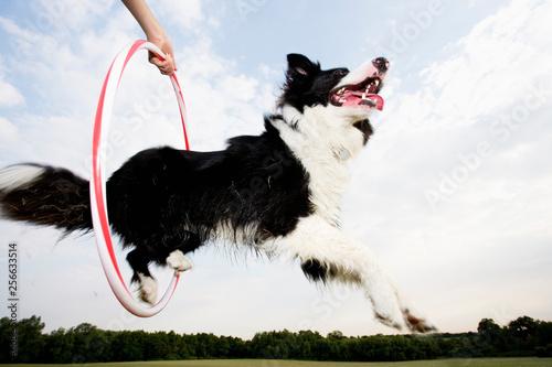 Fototapeta A Sheepdog jumping through a hoop