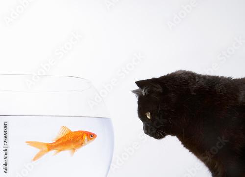 A black cat staring at a goldfish Fototapet