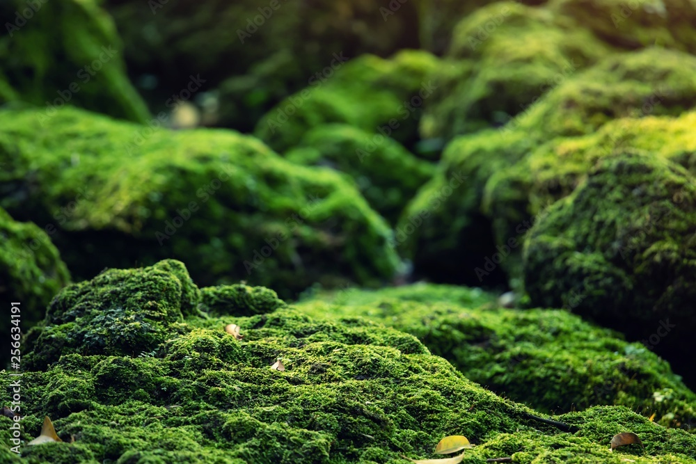 Fototapety, obrazy: Beautiful Bright Green moss grown up cover the rough stones and on the floor in the forest. Show with macro view. Rocks full of the moss texture in nature for wallpaper.