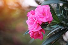 Pink Oleander On A Green Backg...