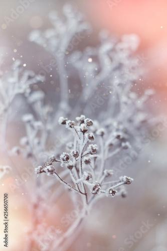 mrozone-rosliny-w-zimie-z-szronem