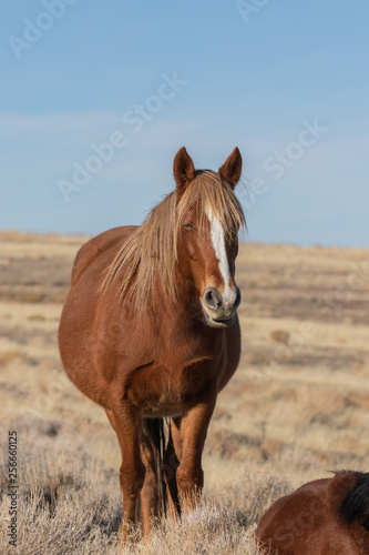 Wild Horse in Winter in Utah