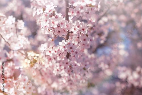 piekna-przyroda-na-wiosne-kwitnace-drzewo-owocowe