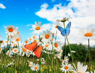 Fototapeta 3D different beautiful butterflies flying over a meadow on a bright white flowers daisies on a Sunny summer day and drink the nectar