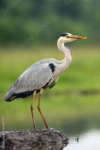Carta da parati The grey heron (Ardea cinerea) standing and fishing in the water