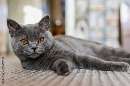 Brytyjski (szkocki) niebieski kotek jest bardzo piękny. Brytyjski kotek wygląda prosto i leży na podłodze. Brytyjski kotek patrzy bardzo uważnie